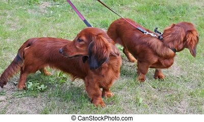 Two dogs of breed long-wool Badgerers walk on lawn