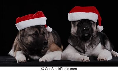 Two dogs of the American Akita breed lie and twirl their bearish faces on the sides. Pets pose in the studio against a black background, both wearing red Santa Claus hats on their heads. Close up.