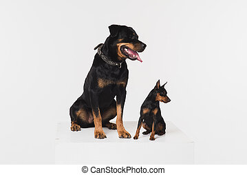 Two dogs on a white background in the studio. -...