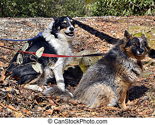 Two Dogs on Leashes
