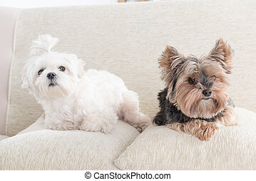 Two dogs on sofa - Two cute dogs white maltese and yorkshire...