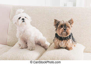 Two dogs on sofa
