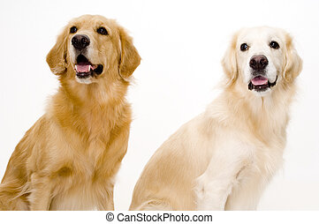 Two Dogs - Two golden retriever dogs, one pale and one more...