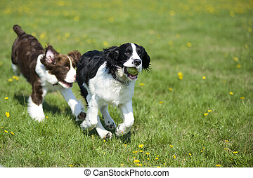 Two Springer Spaniels play chase in a field of grass and daisies.