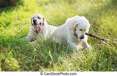 Two dogs playing in the meadow