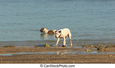 Two dogs playing in the water at the beach - Two dogs at the...