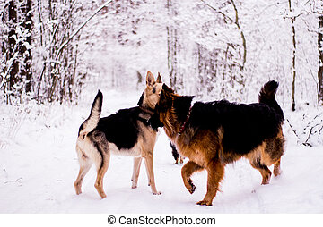 Two dogs playing in the winter forest