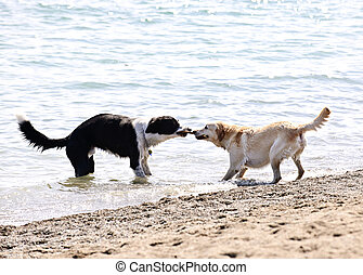 Two dogs playing on beach - Two dogs playing tug of war with...