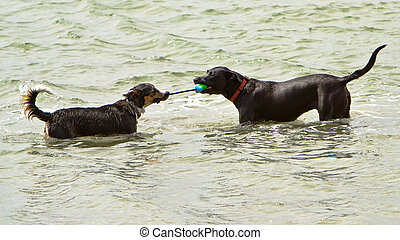 Two dogs playing tug-o-war in the ocean