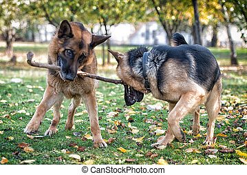 Two Dogs Playing With A Stick