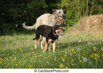 Two dogs playing with each other and running in yellow...
