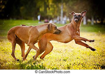 two dogs ridgeback playing