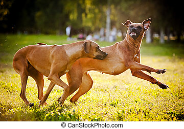 two dogs ridgeback playing