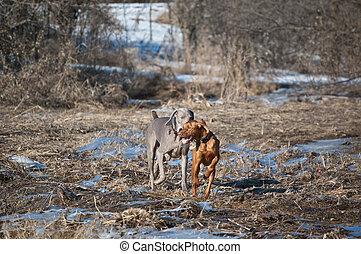 Two dogs running in a field in winter
