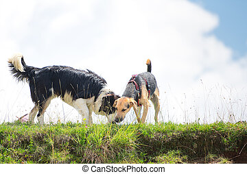 Two dogs smell something in the meadow