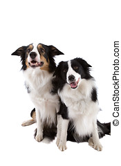 Two dogs - Two sheep dogs sitting side by side on white ...