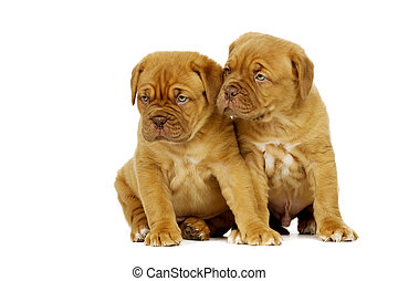 Two Dogue De Boudeux Puppies Isolated on a white background
