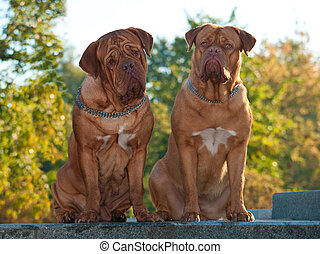 Two Dogues De Bordeaux at the street