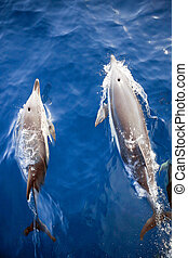 Two Dolphins From Above - Two Bottlenose Dolphins viewed ...