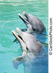 Two Dolphins Playing - Two dolpins playing in ocean