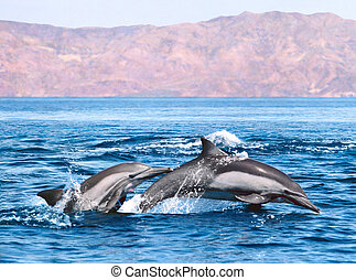 Two Dolphins - Two Common dolphins jumping and swimming in...