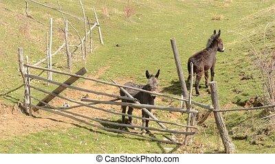 Two Donkeys Near Hurdle - Two brown donkeys in a fold.