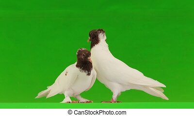 two dove on a green screen