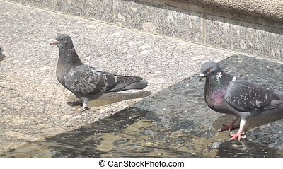 Two Doves by the water of the fountain. He drinks and flies...