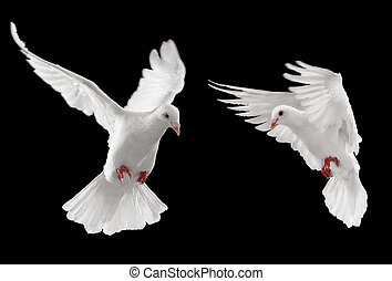 two doves looking at something, isolated on black background