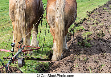 Two draft horses with a traditional plough - Two brown draft...
