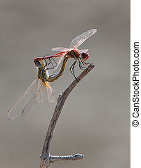 Two dragonflies making sex