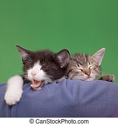 Two Dreamy Cats Domestic Cats Isolated on Green Background