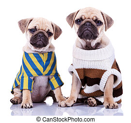 two dressed pug puppy dogs - two cute dressed pug puppy dogs...