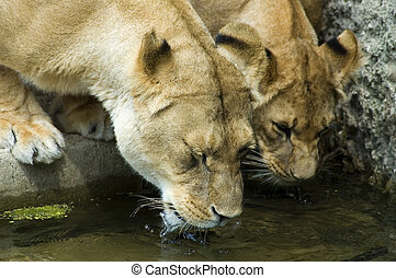 two lionesses drinking water