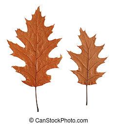 two dry oak leaves