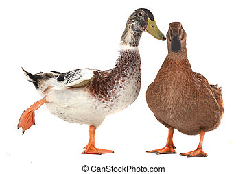 duck - two duck on a white background