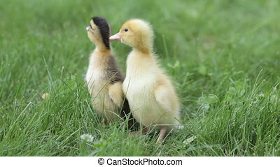 two ducklings brothers
