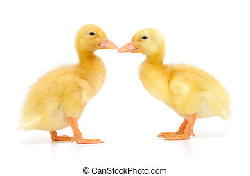 two ducklings who are represented on a white background