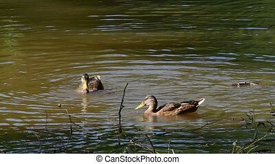 Two ducks diving