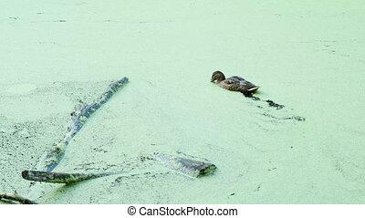 two ducks float in waterlogged pond. wild waterfowl birds ...