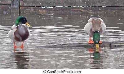 Two ducks in Munich, Germany, during the snow storm.