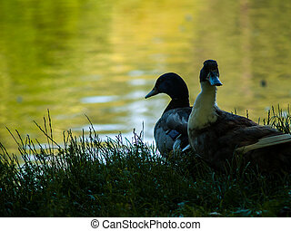 Two Ducks in Silhouette at the Edge of a Pond