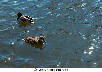 Two ducks on pond.