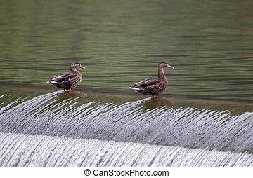 Two Ducks Sitting on a Dam