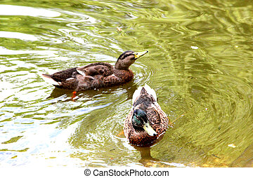 Two ducks swimming in a pond