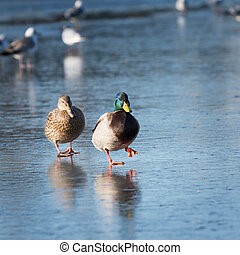 Two ducks walking on the ice