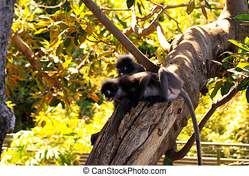 Two Dusky-Leaf Monkeys in Tree - Trachypithecus obscurus....