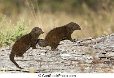Two Dwarf Mongoose - Botswana