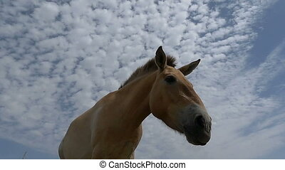 Two Dzungarian horses eat grass on a meadow in slo-mo - An...