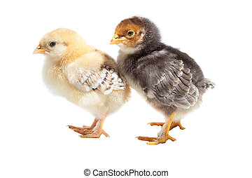 two easter puffy chickens one on isolated white background